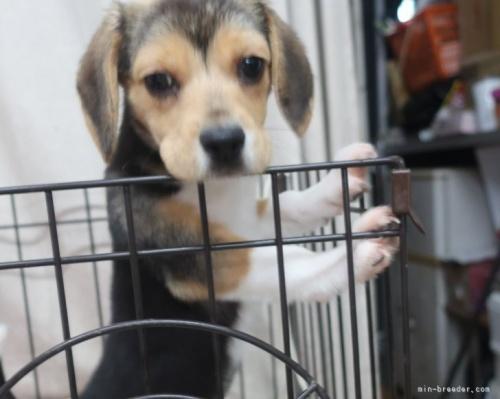 ビーグルの子犬(ID:1252911218)の2枚目の写真/更新日:2017-09-29