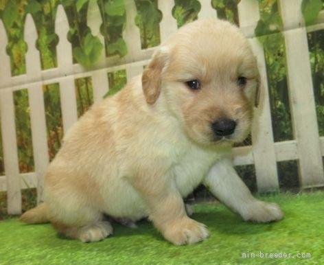 ゴールデンレトリバーの子犬(ID:1252911220)の1枚目の写真/更新日:2017-10-10