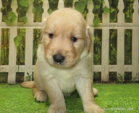 ゴールデンレトリバーの子犬(ID:1252911220)の2枚目の写真/更新日:2017-10-10
