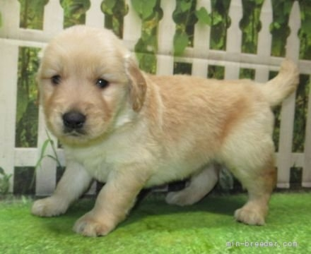ゴールデンレトリバーの子犬(ID:1252911220)の3枚目の写真/更新日:2021-04-05