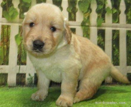 ゴールデンレトリバーの子犬(ID:1252911220)の4枚目の写真/更新日:2021-04-05
