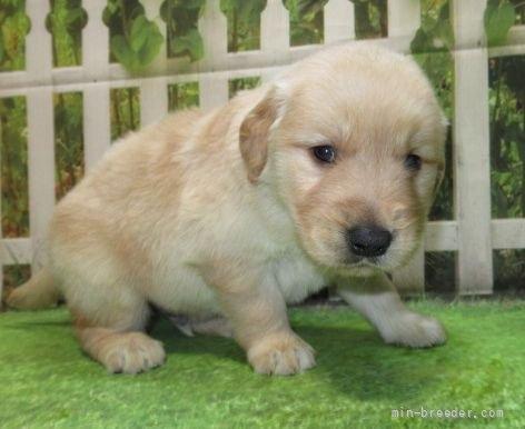 ゴールデンレトリバーの子犬(ID:1252911220)の5枚目の写真/更新日:2021-04-05