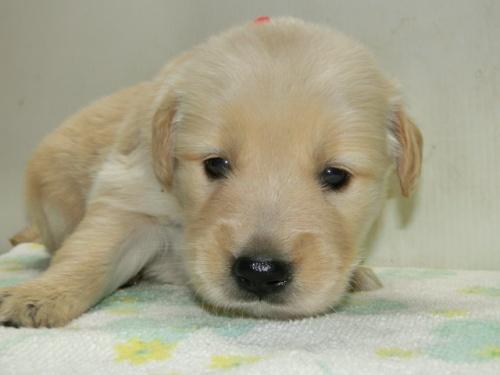 ゴールデンレトリバーの子犬(ID:1252911221)の1枚目の写真/更新日:2017-10-10