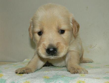 ゴールデンレトリバーの子犬(ID:1252911221)の2枚目の写真/更新日:2017-10-10