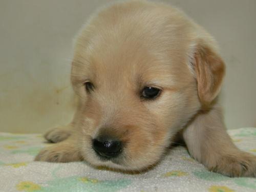 ゴールデンレトリバーの子犬(ID:1252911221)の3枚目の写真/更新日:2017-10-10