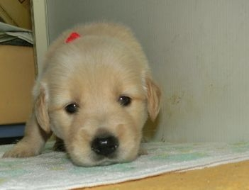 ゴールデンレトリバーの子犬(ID:1252911221)の4枚目の写真/更新日:2017-10-10