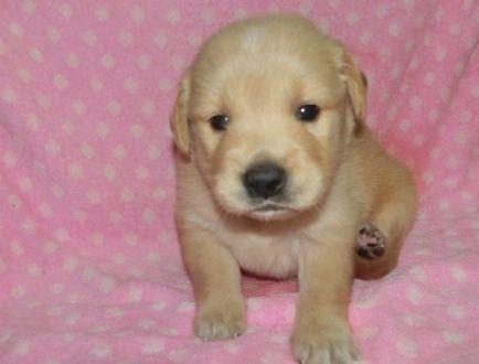 ゴールデンレトリバーの子犬(ID:1252911222)の1枚目の写真/更新日:2017-10-10
