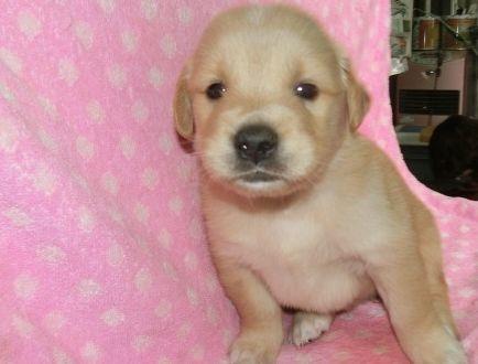 ゴールデンレトリバーの子犬(ID:1252911222)の2枚目の写真/更新日:2017-10-10