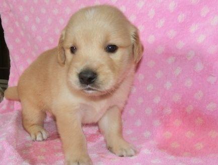 ゴールデンレトリバーの子犬(ID:1252911222)の3枚目の写真/更新日:2017-10-10
