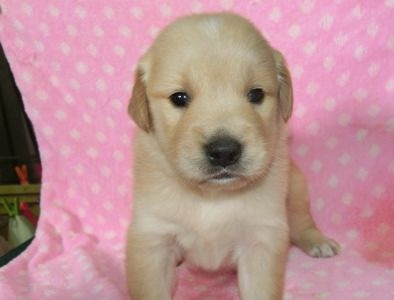 ゴールデンレトリバーの子犬(ID:1252911222)の4枚目の写真/更新日:2017-10-10
