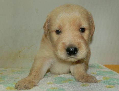 ゴールデンレトリバーの子犬(ID:1252911223)の1枚目の写真/更新日:2017-10-10