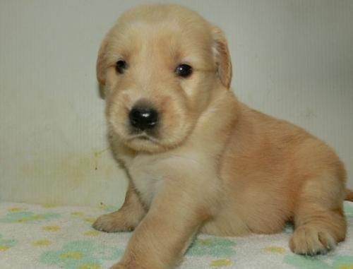 ゴールデンレトリバーの子犬(ID:1252911223)の3枚目の写真/更新日:2017-10-10