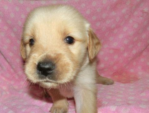 ゴールデンレトリバーの子犬(ID:1252911224)の2枚目の写真/更新日:2017-10-10
