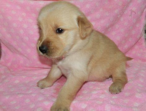 ゴールデンレトリバーの子犬(ID:1252911224)の3枚目の写真/更新日:2017-10-10