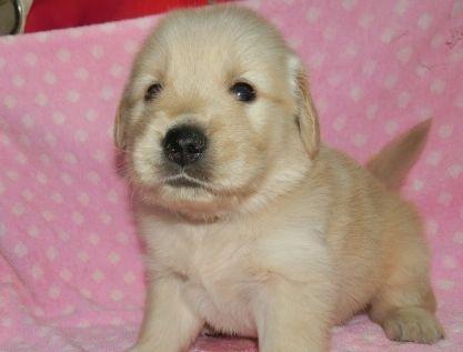 ゴールデンレトリバーの子犬(ID:1252911225)の1枚目の写真/更新日:2017-10-10