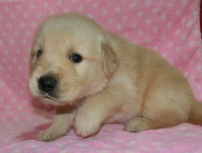 ゴールデンレトリバーの子犬(ID:1252911225)の2枚目の写真/更新日:2017-10-10