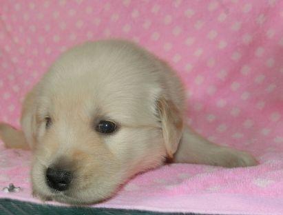ゴールデンレトリバーの子犬(ID:1252911225)の3枚目の写真/更新日:2017-10-10