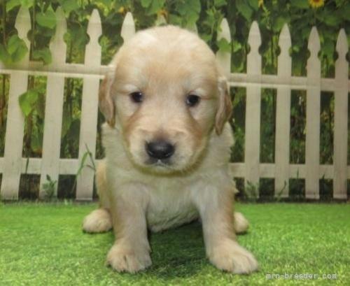 ゴールデンレトリバーの子犬(ID:1252911226)の1枚目の写真/更新日:2021-04-05