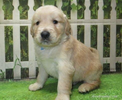 ゴールデンレトリバーの子犬(ID:1252911226)の2枚目の写真/更新日:2017-10-10
