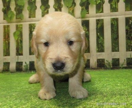 ゴールデンレトリバーの子犬(ID:1252911226)の3枚目の写真/更新日:2017-10-10