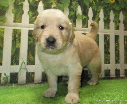 ゴールデンレトリバーの子犬(ID:1252911226)の5枚目の写真/更新日:2021-04-05