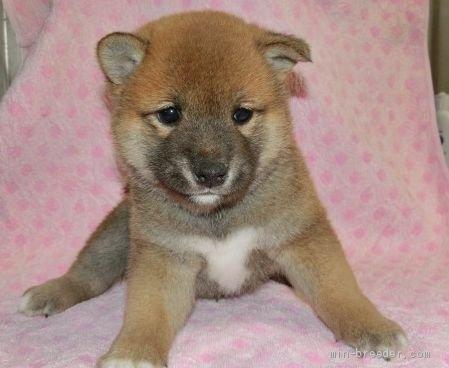柴犬の子犬(ID:1252911227)の1枚目の写真/更新日:2017-11-10