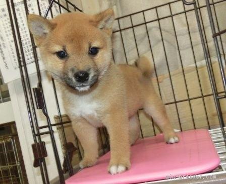 柴犬の子犬(ID:1252911228)の1枚目の写真/更新日:2017-11-10