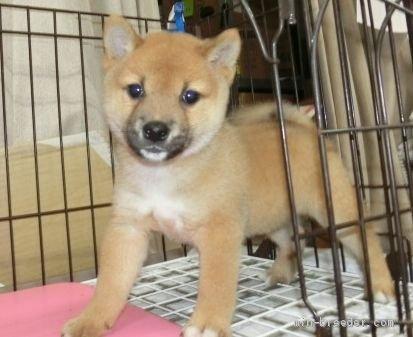 柴犬の子犬(ID:1252911228)の2枚目の写真/更新日:2017-11-10