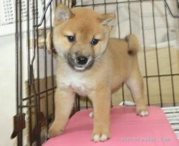 柴犬の子犬(ID:1252911228)の3枚目の写真/更新日:2021-05-17