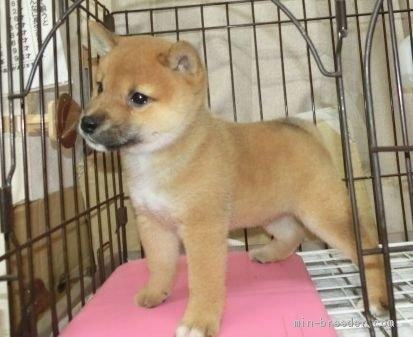 柴犬の子犬(ID:1252911228)の4枚目の写真/更新日:2021-05-17