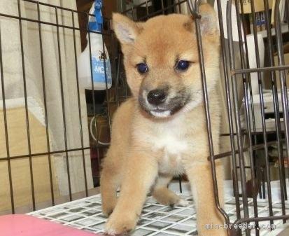 柴犬の子犬(ID:1252911228)の5枚目の写真/更新日:2021-05-17