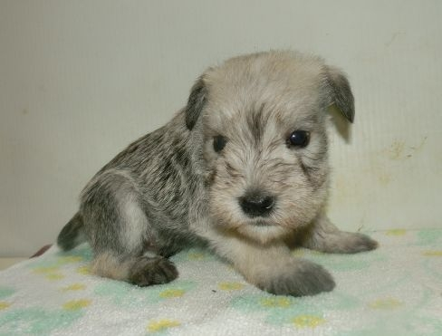 ミニチュアシュナウザーの子犬(ID:1252911229)の1枚目の写真/更新日:2017-12-01