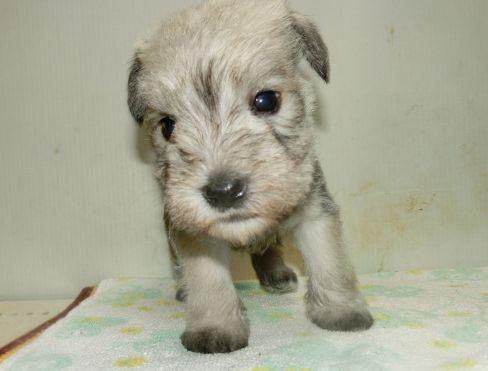 ミニチュアシュナウザーの子犬(ID:1252911229)の3枚目の写真/更新日:2017-12-01