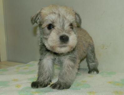 ミニチュアシュナウザーの子犬(ID:1252911230)の1枚目の写真/更新日:2017-12-01