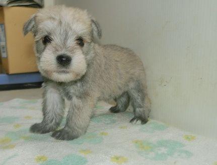 ミニチュアシュナウザーの子犬(ID:1252911230)の2枚目の写真/更新日:2017-12-01