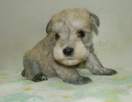 ミニチュアシュナウザーの子犬(ID:1252911230)の3枚目の写真/更新日:2017-12-01
