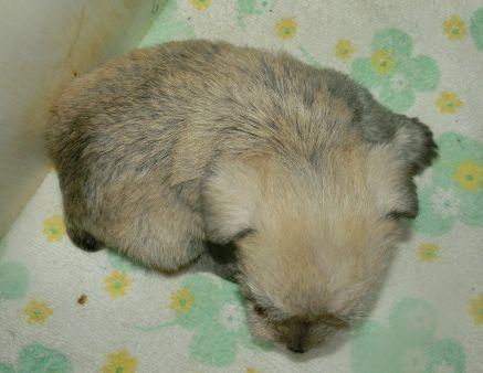 ミニチュアシュナウザーの子犬(ID:1252911230)の4枚目の写真/更新日:2017-12-01