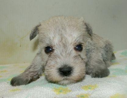 ミニチュアシュナウザーの子犬(ID:1252911231)の1枚目の写真/更新日:2017-12-01