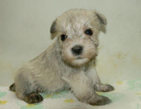 ミニチュアシュナウザーの子犬(ID:1252911231)の2枚目の写真/更新日:2017-12-01