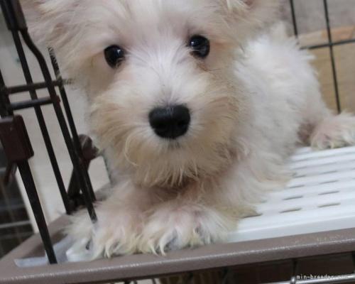 ミニチュアシュナウザーの子犬(ID:1252911232)の2枚目の写真/更新日:2021-10-04