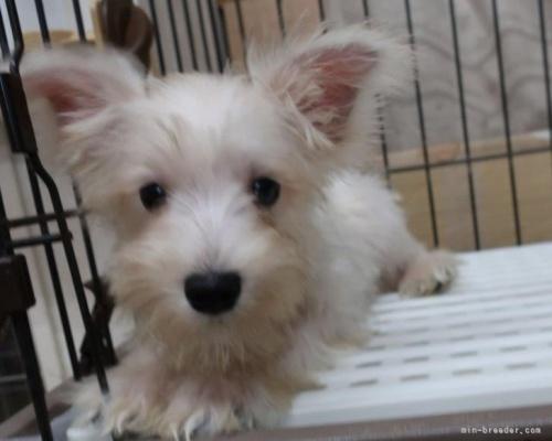 ミニチュアシュナウザーの子犬(ID:1252911232)の3枚目の写真/更新日:2020-03-31