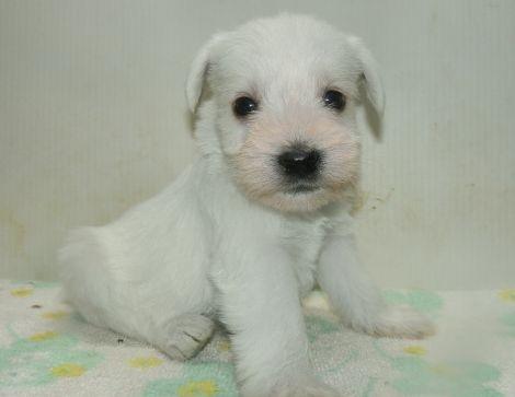 ミニチュアシュナウザーの子犬(ID:1252911233)の1枚目の写真/更新日:2017-12-01