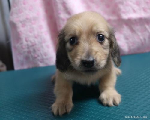 ミニチュアダックスフンド(スムース)の子犬(ID:1252911234)の2枚目の写真/更新日:2018-01-08