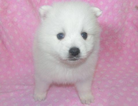 日本スピッツの子犬(ID:1252911235)の1枚目の写真/更新日:2018-01-08