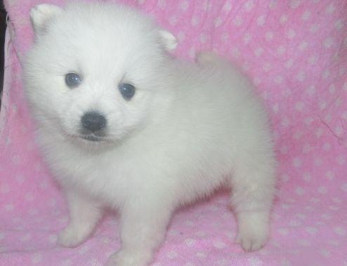 日本スピッツの子犬(ID:1252911235)の2枚目の写真/更新日:2018-01-08