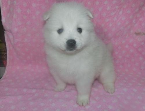 日本スピッツの子犬(ID:1252911236)の1枚目の写真/更新日:2018-01-08