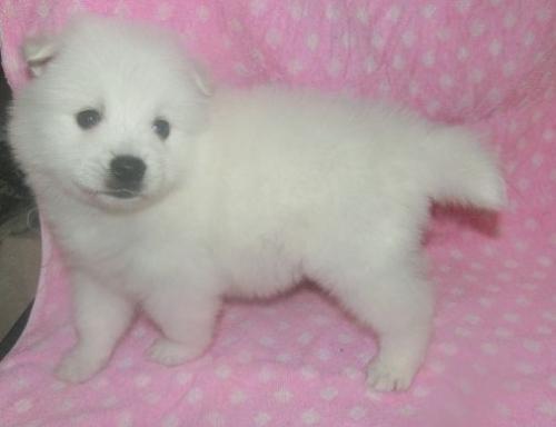 日本スピッツの子犬(ID:1252911236)の2枚目の写真/更新日:2018-01-08