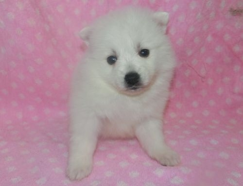 日本スピッツの子犬(ID:1252911237)の1枚目の写真/更新日:2018-01-08