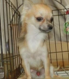 チワワ(ロング)の子犬(ID:1252911238)の2枚目の写真/更新日:2018-04-16
