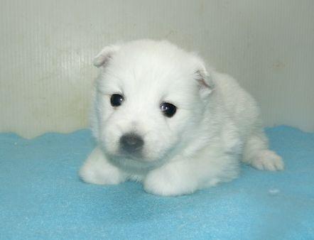 日本スピッツの子犬(ID:1252911241)の1枚目の写真/更新日:2018-02-19